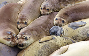 English: Elephant seal colony