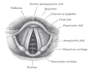 A labeled anatomical diagram of the vocal fold...