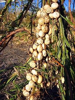 El caracol de tierra en la cocina de la Región de Murcia