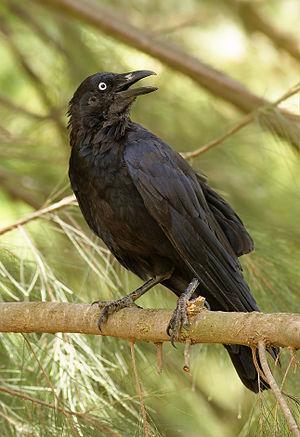 Australian Raven (Corvus coronoides), Australi...