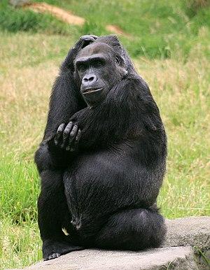 English: Female Gorilla, Gorilla gorilla in SF zoo