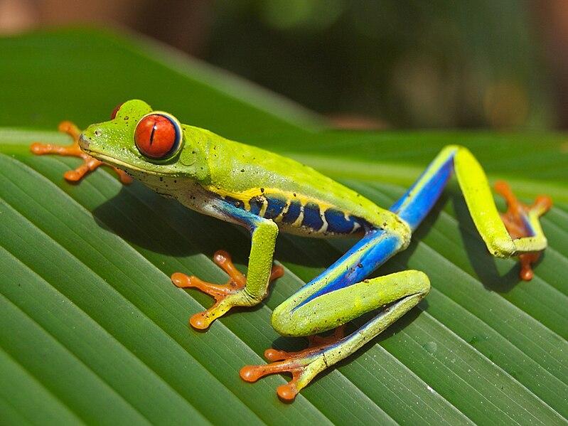 File:Red eyed tree frog edit2.jpg
