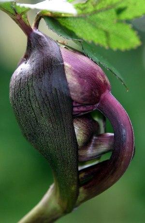 Plant morphology  Wikipedia