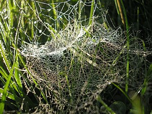 Cobweb on my Lawn