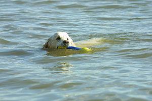 Golden Retriever swimming.