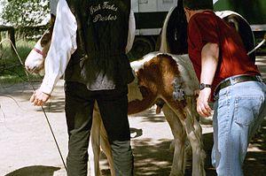 Horse branding