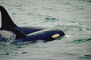 An adult female and her calf