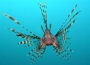 Pterois volitans, also known as red or common ...