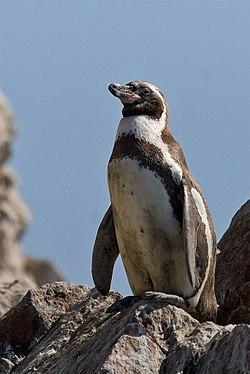 Nader Nazemi-Humboldt Penguin