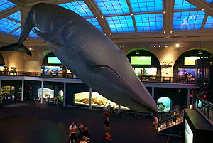 The full-size model of a Blue Whale suspended ...