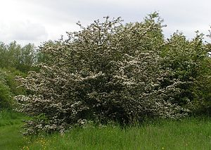 Common Hawthorn, also known as Whitethorn