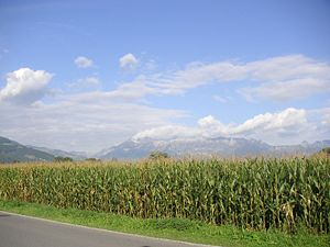 English: A corn field in Liechtenstein. Keywor...