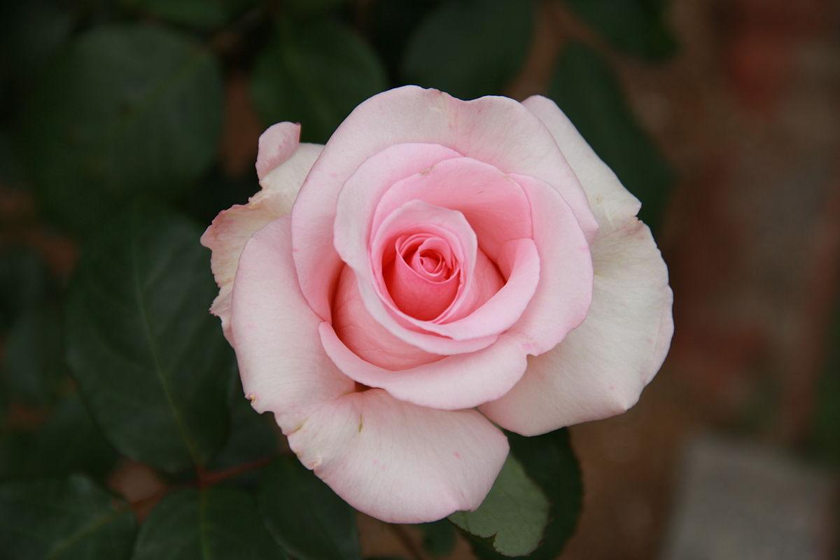 Rosa Flamingo 1979 Wikimedia Commons