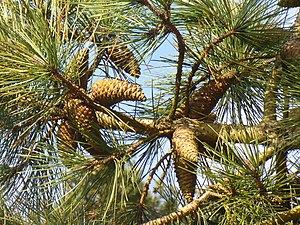 English: Pine Cones, Chinthurst Hill Cones, ab...