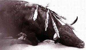 Les vétérinaires reconnaissent unanimement que les blessures sont telles que la souffrance de l'animal est incontestable. Le taureau est un mammifère dont le système nerveux est similaire à celui de l'Homme.