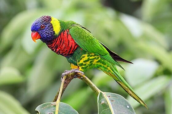 نتيجة بحث الصور عن طائر Lorikeet