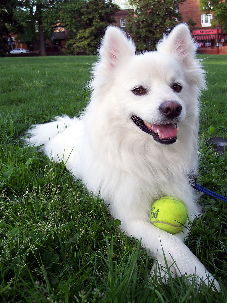 768px American Eskimo dog Pure Pitbull Dog