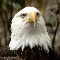 He is an injured bald eagle now living at the ...