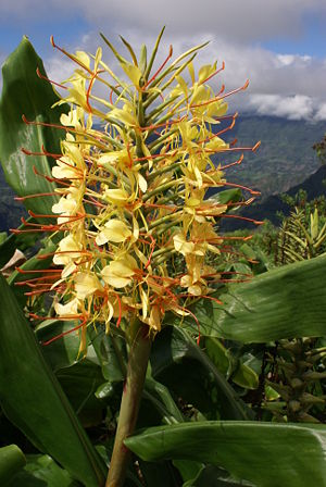 Introduced flowers, such as this Kahili Ginger...