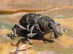 Hylobius abietis, seekor kumbang penggerek