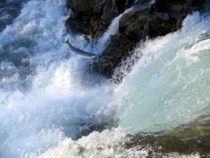 A steelhead attempting to jump over some rapid...