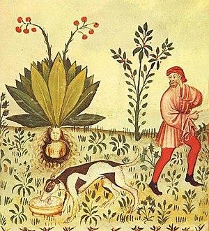 Mandrake (Mandragora officinarum), scanned fro...
