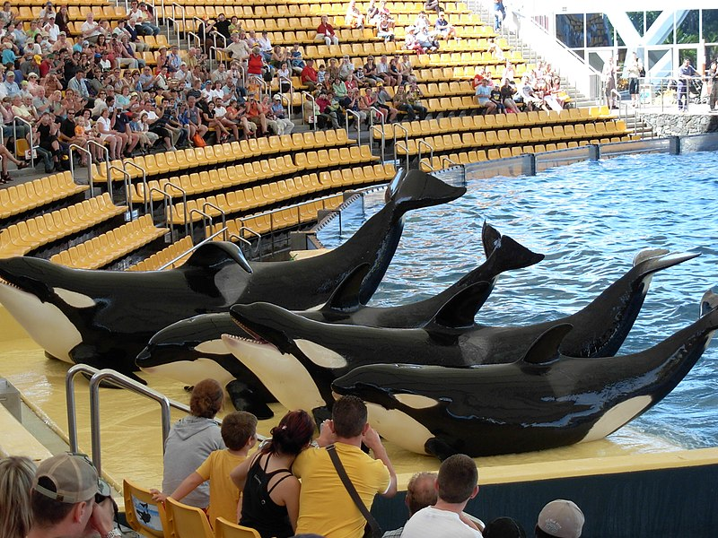 Do Orcas At Marine Parks Injure One Another? More Photos...