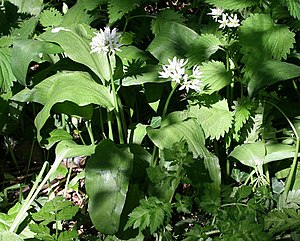 Wild garlic, Allium ursinum - geograph.org.uk ...