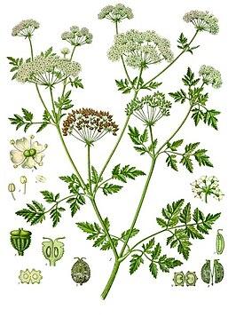 Conium maculatum - Köhler–s Medizinal-Pflanzen-191.jpg