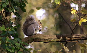 English: Eastern Gray Squirrel sitting on a branch