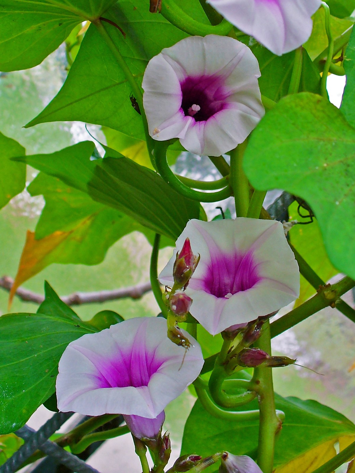 List Of Sweet Potato Cultivars Wikipedia