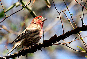 Male House Finch (Carpodacus mexicanus). Shot ...