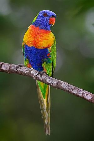Rainbow lorikeet in Victoria, Australia.