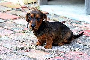 An eight-week-old Miniature Dachshund puppy.