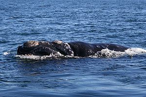 Southern right whale (Peninsula Valdés, Patago...