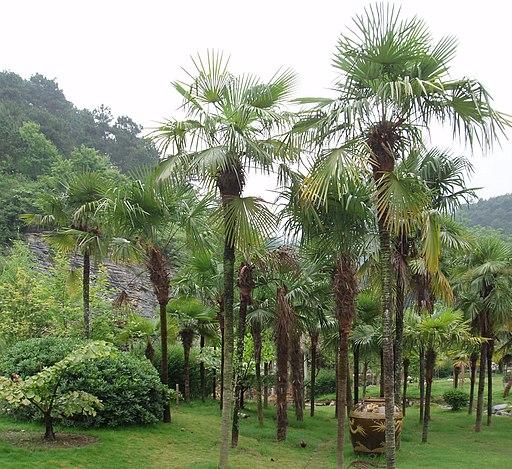 TrachycarpusFortunei