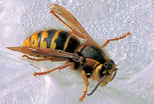 English: Dolichovespula media, queen, length 1...