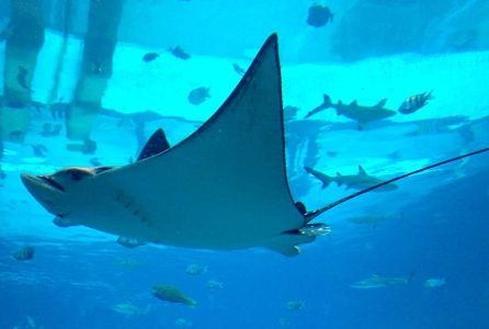 File:Dubai Atlantis Aquarium 1201200712591 Aetobatus narinari Spotted Eagle Ray.jpg
