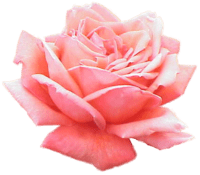 Extracted pink rose.png