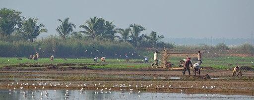 Adatt, Kole Wetlands, Thrissur