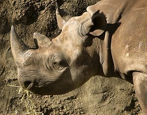 Black Rhino at Taronga zoo, Sydney, Australia