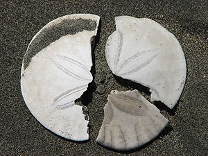 Broken sanddollar pieces