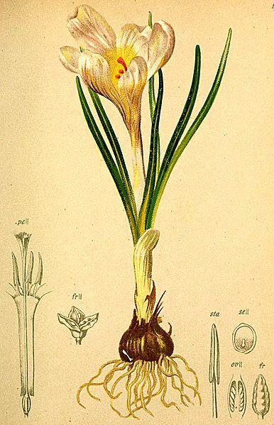 File:Crocus albiflorus Atlas Alpenflora.jpg