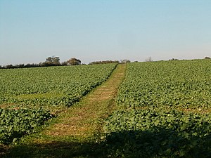 English: Farmland Path The path through the crops.