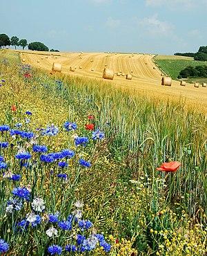 English: Summer field in Belgium (Hamois). The...