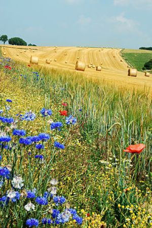 Summer field in Belgium (Hamois). The blue flo...
