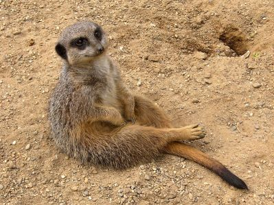 Fitxer:Meerkat (Suricata suricatta).jpg