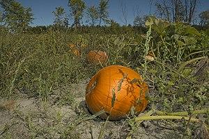 pumpkins field