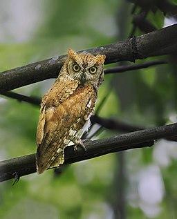 Oriental Scops Owl, Garbhanga, Assam, 5 june 2017