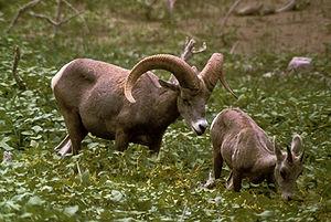 A bighorn ram following a juvenile ewe.